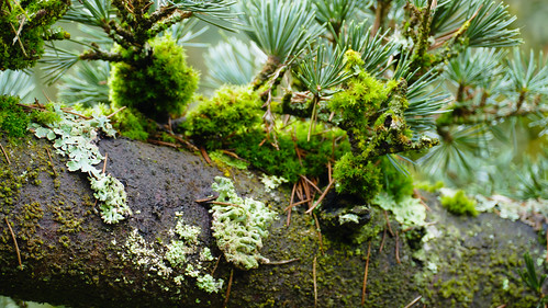 Exuberant lichen and moss on a conifer