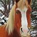 IMG_6315 - New Forest Pony - Matley Heath - 18.03.18