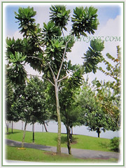 Barringtonia asiatica (Poison Fish Tree, Fish-killer Tree, Beach Barringtonia, Sea Poison Tree, Box Fruit, Putat Gajah/Laut in Malay) can grow between 7-25 m tall, March 24 2018