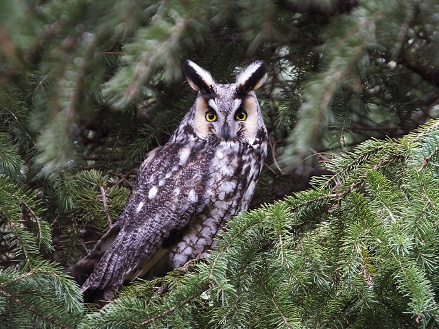 Long-eared owl (1), Fujifilm FinePix HS50EXR