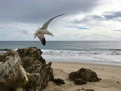 2018.03.03 - western gull in flight