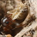 Ant dragging termite by Zorotypus