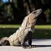 Mexican Iguana por harvey.doane