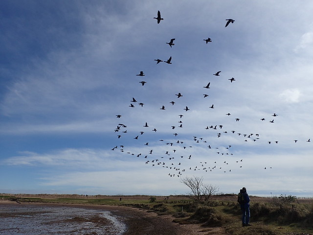 Brent Geese take flight at Dawlish Warren