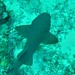 Anguilla DPLUS045  Underwater image of a small nurse shark swimming in the reefs off Anguilla, Credit - Cefas