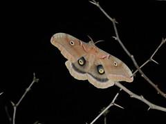 Cyclops Moth of Texas