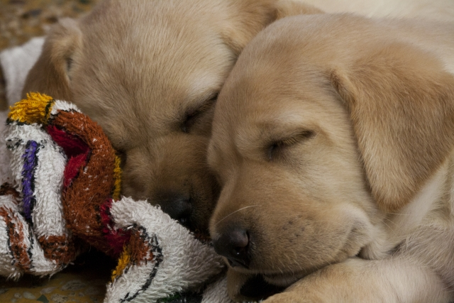 快適に眠る犬