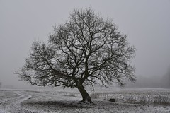 Am Südermoor - Stieleiche (Quercus robur); Bergenhusen, Stapelholm (1)