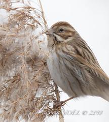 Bruant des roseaux - Emberiza schoeniclus - Common Reed Bunting : Michel NOËL © 2018-2646.jpg