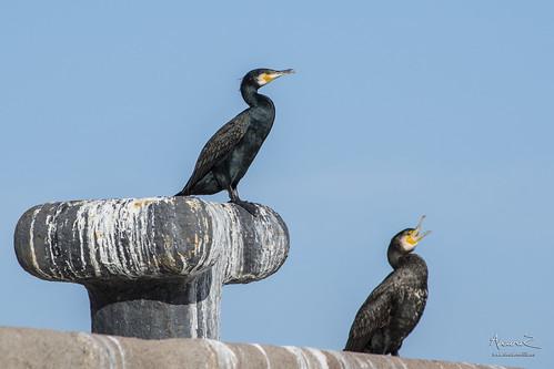 Cormoranes en Puerto Noray Melilla