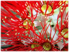 Gorgeous vibrant red flowers of Metrosideros excelsa (New Zealand Pohutukawa, New Zealand Christmas Tree/Bush, Iron Tree), March 8 2018