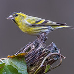 Siskin at Millers wood today