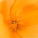 Orange Poppy, 3.2.18