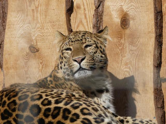 Chinaleopard, Zoo Karlsruhe