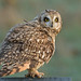 Short-eared Owl by KHR Images
