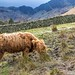 Highland cattle at the head of Buttermere