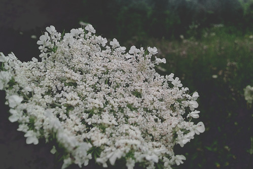 photography sabanovicphotography nature edit throughherlens flowers grass shadow spring earth editing trees photoshop plant pretty macro lens dark forest green hills landscape leaves light beautiful beauty background black natural misty moody meadow wilderness wild carrot wildcarrot