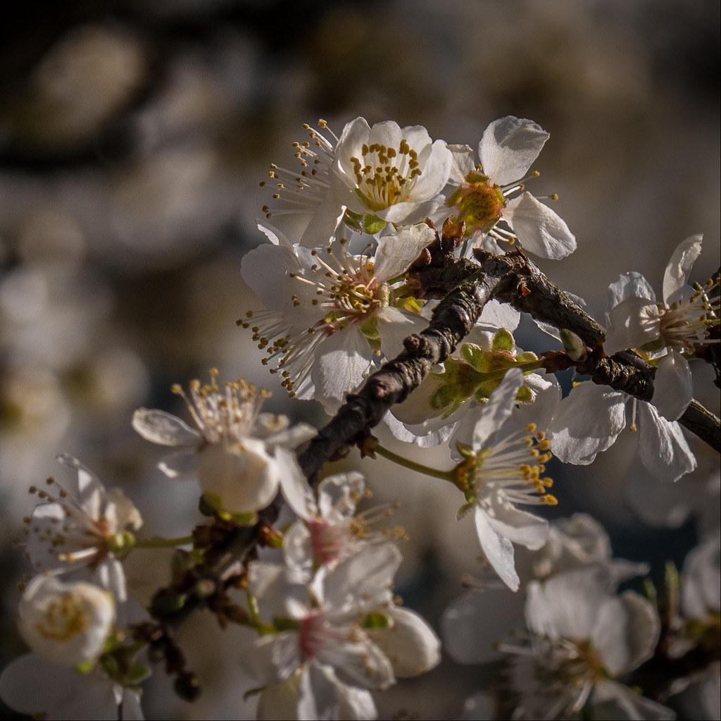 Pommiers sauvages du printemps 27113706248_d950ae2e1b_b