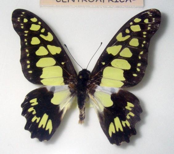 Graphium tynderaeus 27129814698_03bc98baaf_o