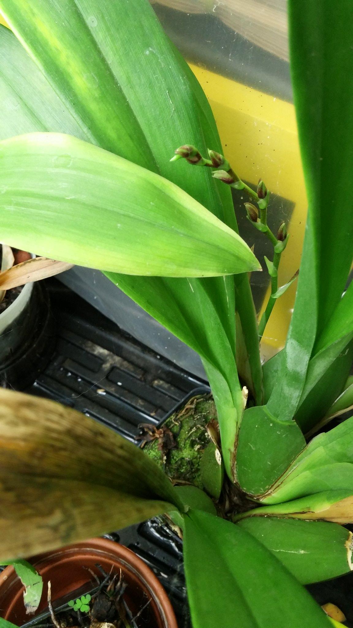 Les orchidées chez Sougriwa - Page 4 38832262550_7b6272400a_k