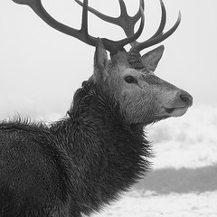 Stag Snow & Mist