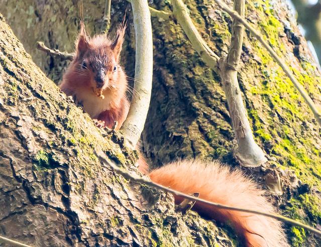 Red Squirrel, Nikon D500, AF-S Nikkor 80-400mm f/4.5-5.6G ED VR