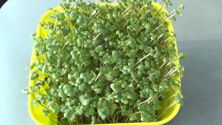 リッチェルのスプラウトファームでブロッコリースプラウトが簡単に栽培できた