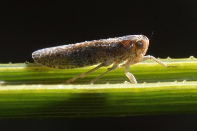 Maybe a Cixiid Planthopper on a yucca leaf?