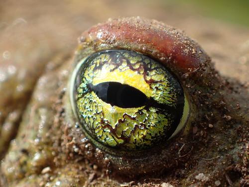 Ojo del Sapo corredor (Epidalea calamita)