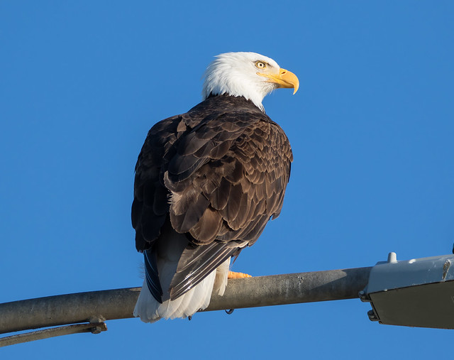 Clover Point Bald Eagle