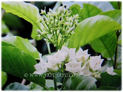 Beautiful blooms and light green foliage of Vallaris glabra (Bread Flower, Kerak Nasi and Bunga Kesidang in Malay), March 15 2018