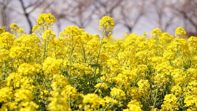 DSC07449花菜ガーデン