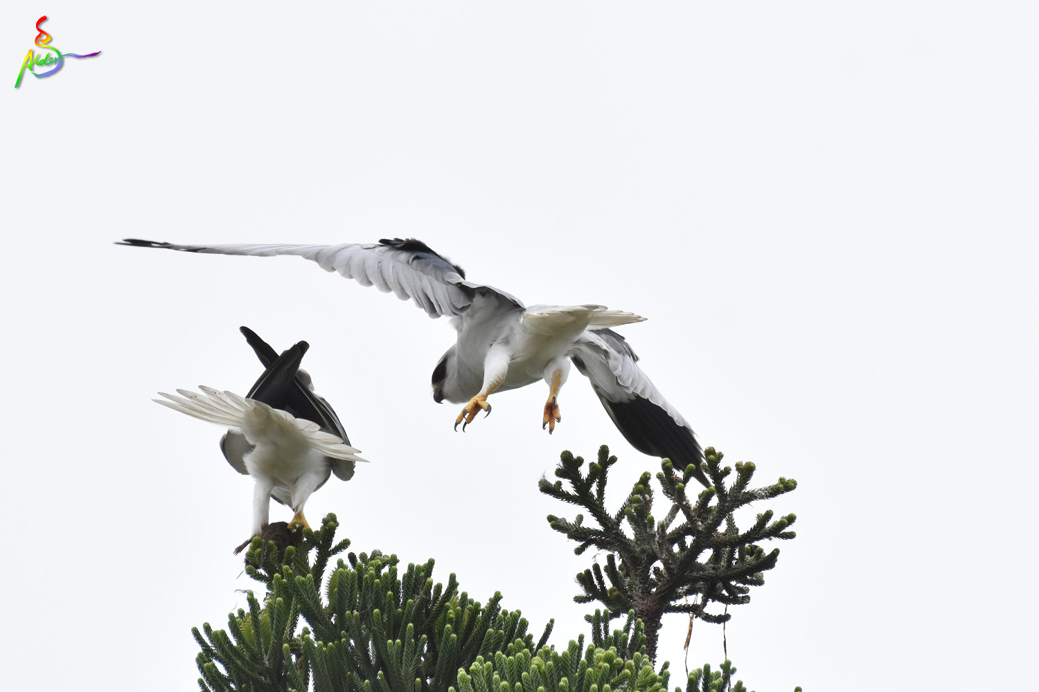 Black-winged_Kite_5044