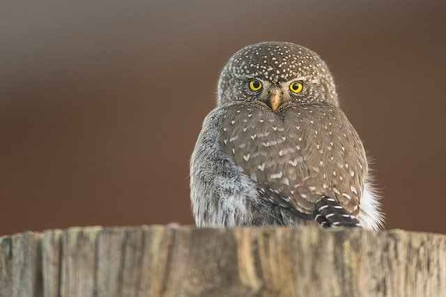 Fencepost Northern Pygmy Owl, Canon EOS-1D X, Canon EF 800mm f/5.6L IS