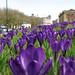 IMG_5768 - Crocuses - Southampton - 14.03.18
