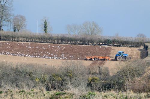 Following the plough: black-headed gulls