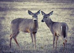 Deer -Chagrin River Park