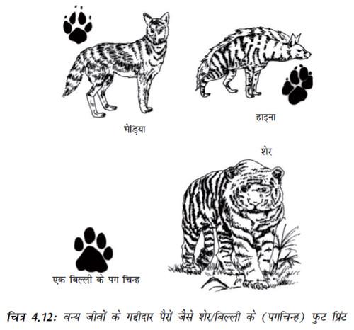 चित्र 4.12 वन्य जीवों के गद्दीदार पैरों जैसे शेर/बिल्ली के (पगचिन्ह) फुट प्रिंट