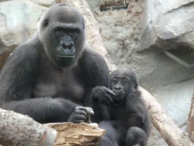 Gorilla Shira + Wela, Zoo Frankfurt