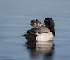 Greater Scaup (Aythya marila) - Point Pleasant, New Jersey