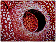 A close-up shot of Rafflesia arnoldii (Corpse Lily, Corpse Flower, Bunga Bangkai in Indonesian Language), March 14 2018