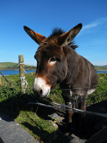 Donkey at Joyce's Bar in Cleggan, Ireland