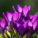purple sensuality by Rainer ❏