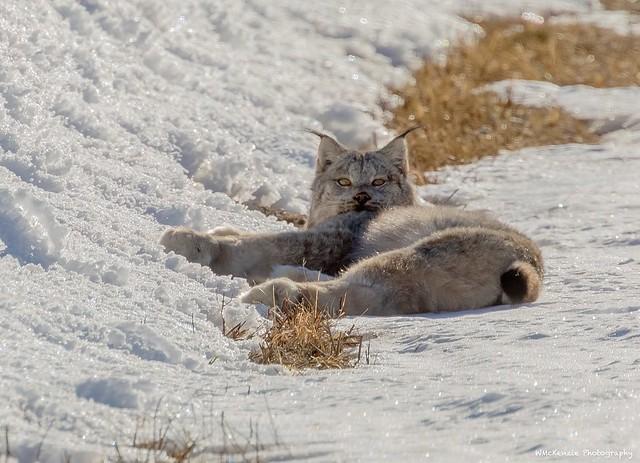 Wild Male Lynx