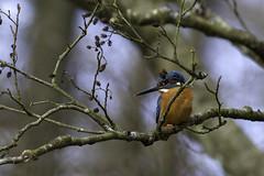 BQ9E8957 Isfugl-Common Kingfisher