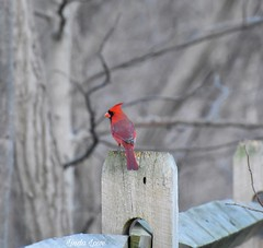 Cardinal at Chagrin River Park
