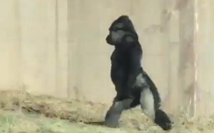 Louis, el gorila que camina en dos patas para no ensuciarse
