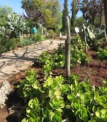 Cactus et succulentes, Jardin Jnan Assabil (جنان ااسبيل), Parc de Boujloud, Fès, Maroc.
