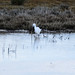Little egret stalking on a frosty morning