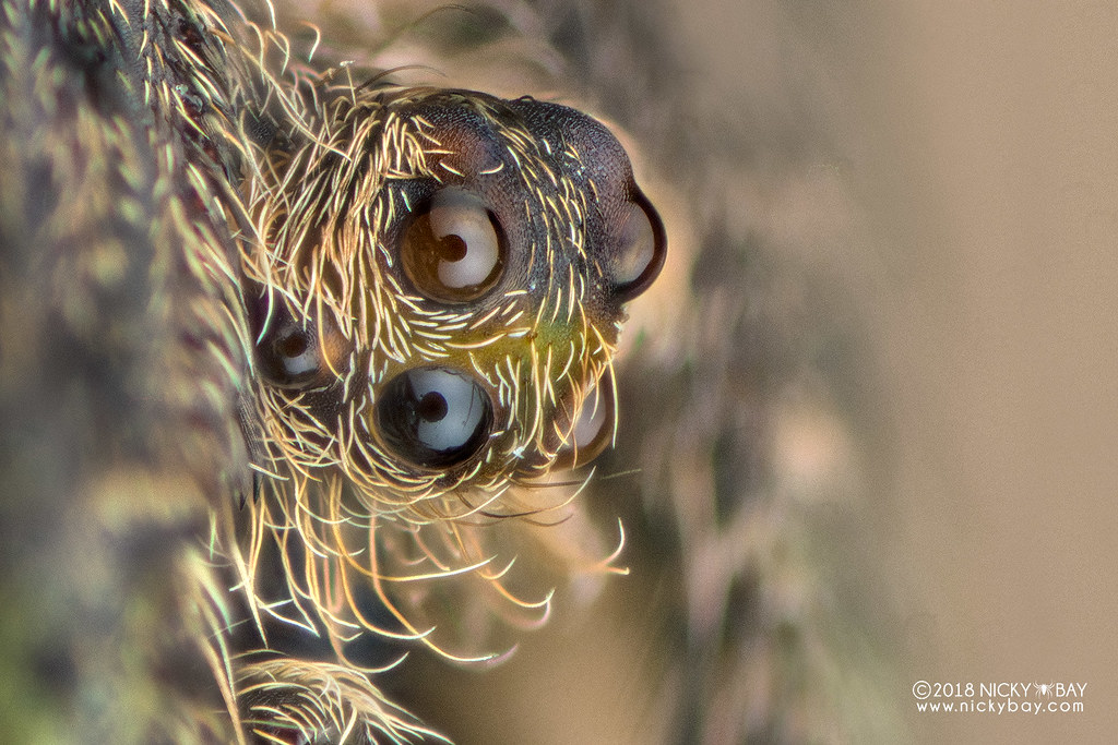 Tree-stump orb weaver (Poltys elevatus) - DSC_9863